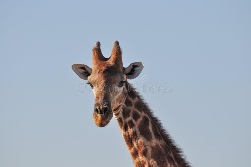 Dzika żyrafa w Etosha parku narodowym w Namibia zdjęcia stock