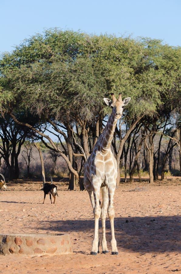 Dzika żyrafa w Namibia zdjęcie stock