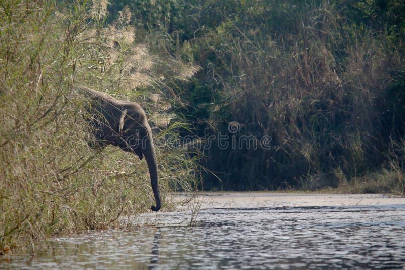 Dzika asiatic słoń woda pitna na riverbank, Bardia, Nepal zdjęcia royalty free