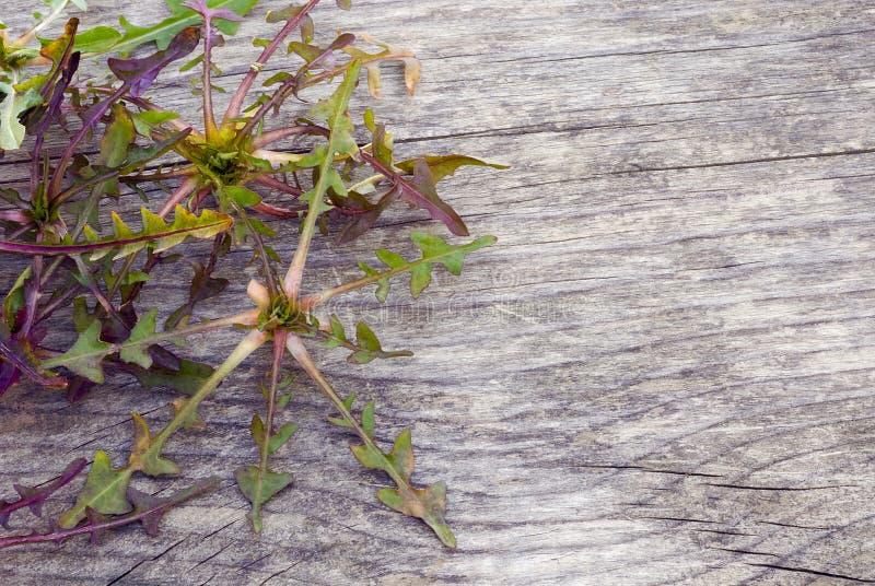 Dzika cykoria, jadalna roślina pola, foragi (Cichorium intybus) fotografia royalty free