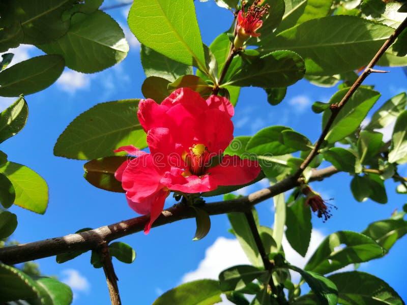 Dzika czerwieni róża w naturze zdjęcie royalty free