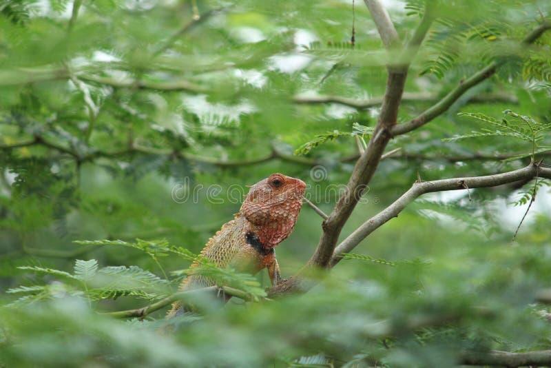 Dzika Czerwona jaszczurka zdjęcia stock