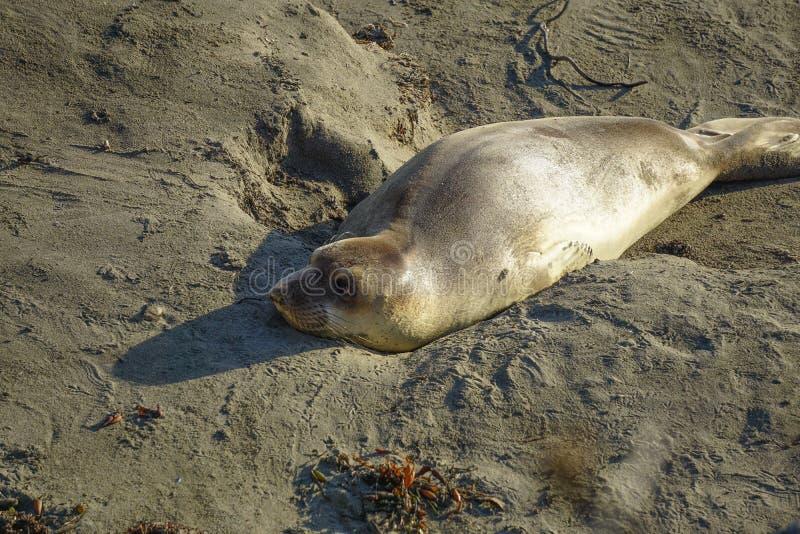 Dzika foka kłaść w piasku obrazy stock
