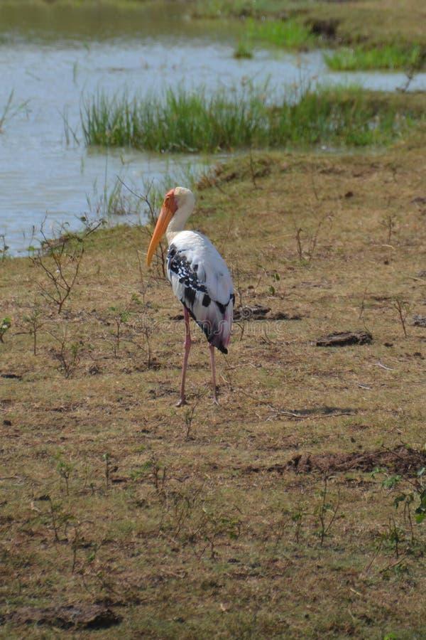 Dzika heron w pobliżu obszaru wodnego obraz stock