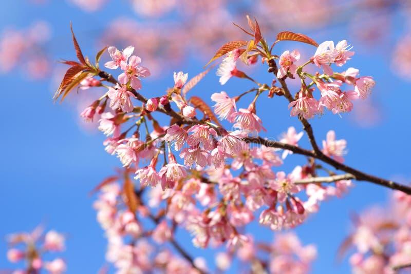 Dzika himalajska wiśnia lub Tajlandzki Sakura kwiat obraz stock