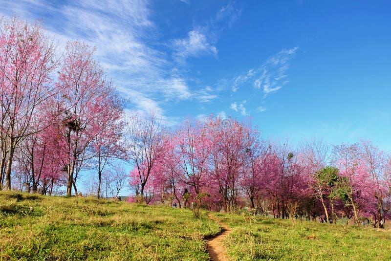 Dzika Himalajska wiśnia przy Phu Lom Lo (Prunus cerasoides) zdjęcie royalty free