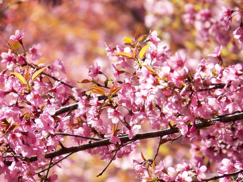 Dzika Himalajska wiśnia, Tajlandzki Sakura obrazy royalty free