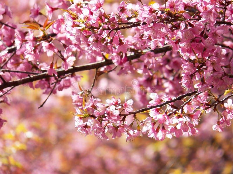 Dzika Himalajska wiśnia, Tajlandzki Sakura zdjęcie stock