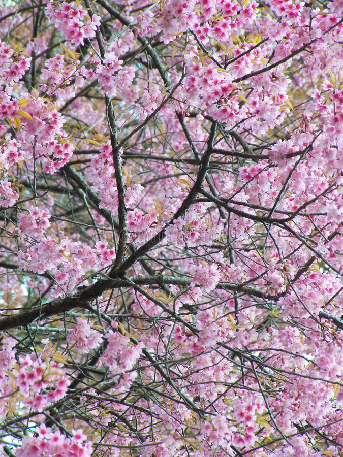 Dzika Himalajska wiśnia, Tajlandzki Sakura fotografia royalty free