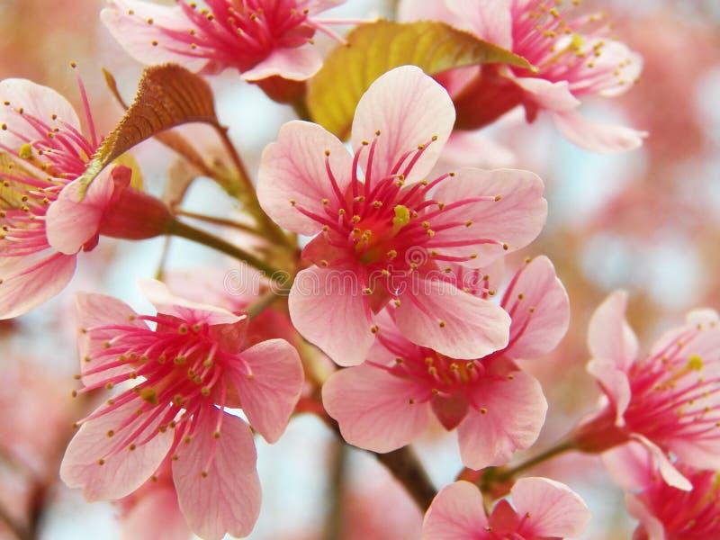 Dzika Himalajska wiśnia, Tajlandzki Sakura fotografia stock