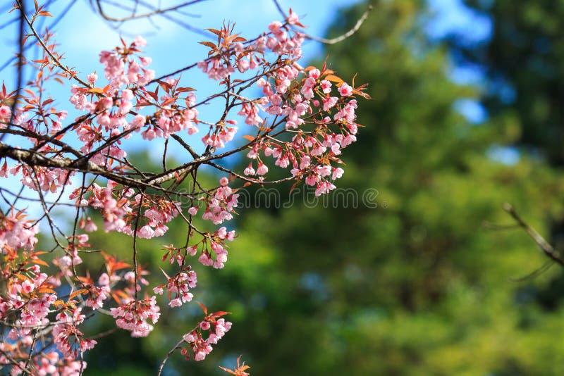 Dzika Himalajska wiśnia z niebieskiego nieba i chmury tłem Tajlandzki Sakura kwitnienie podczas zimy w Tajlandia fotografia royalty free