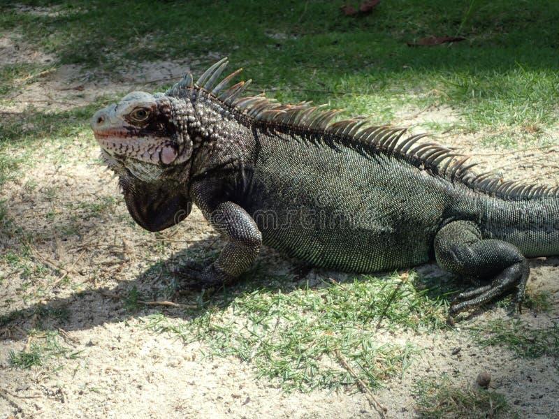 Dzika iguana wisząca za St Thomas na zdjęcie royalty free