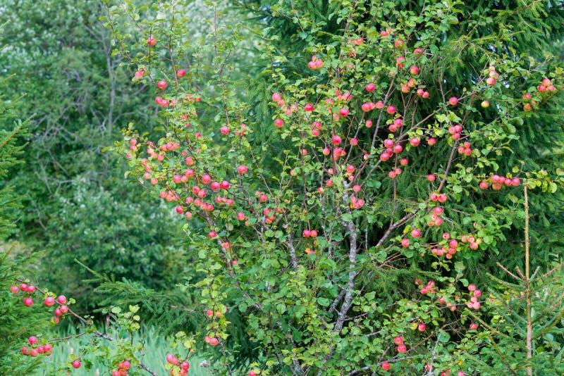 Dzika jabłoń z jabłkami fotografia royalty free