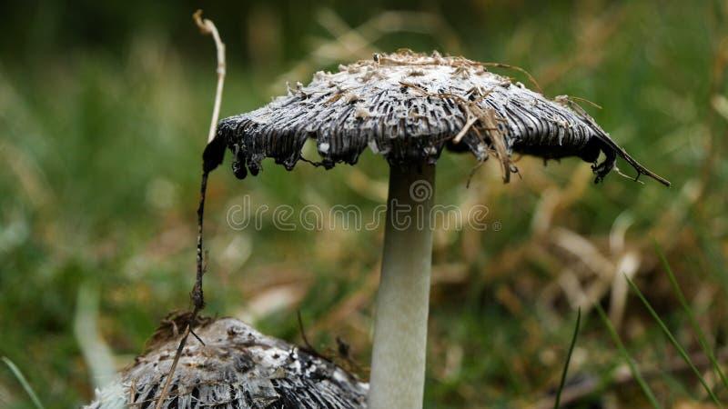 Dzika Jadowita parasol pieczarka Zamknięta W górę wizerunku w naturze w deszczowym dniu fotografia royalty free