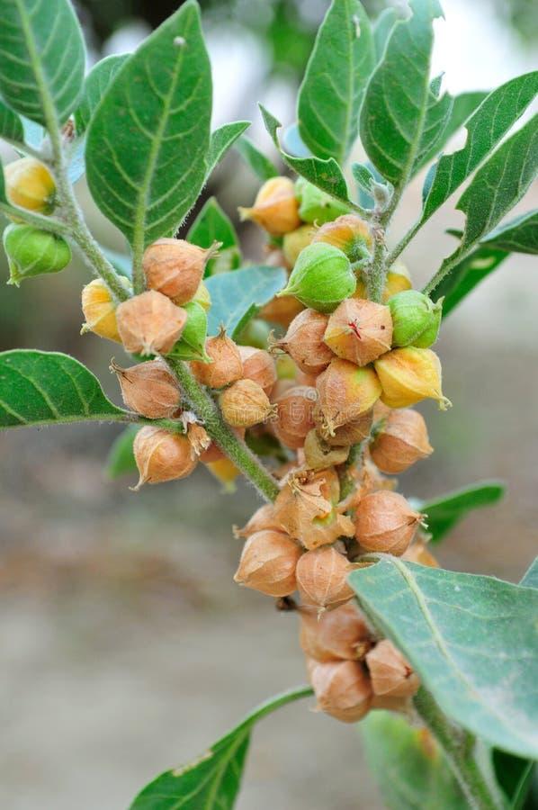 dzika jagodowa roślina obraz royalty free