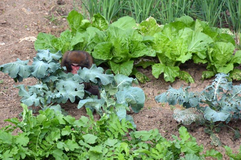 Dzika Japońska makak małpa kraść jedzenie od ludzkiego ogródu w Kyoto obrazy stock