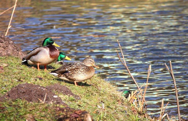 Dzika kaczka na ląd i kaczory obraz royalty free