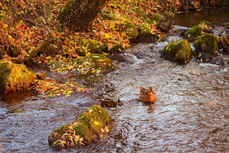 Dzika kaczka pływa w jeziorze, złota woda z przejrzystymi odbiciami i spadku ulistnieniem, fotografia royalty free