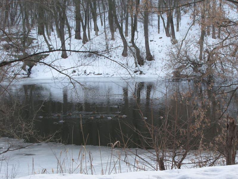 Dzika kaczka przy zimy rzeką zdjęcia royalty free