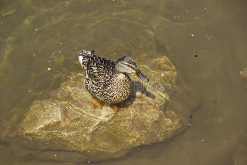 Dzika kaczka siedzi na skale w wodzie na letnim dniu Pojęcie ochrona dzikie zwierzęta i środowisko fotografia royalty free