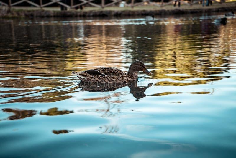 Dzika Kaczka unosi się na jeziorze w Mediolan zdjęcia royalty free