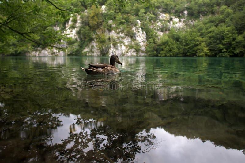 Dzika kaczka unosi się w jeziorze obraz stock