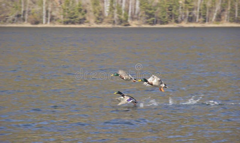 Dzika kaczka zdejmuje od wody Pojęcie ochrona dzikie zwierzęta i środowisko obraz stock
