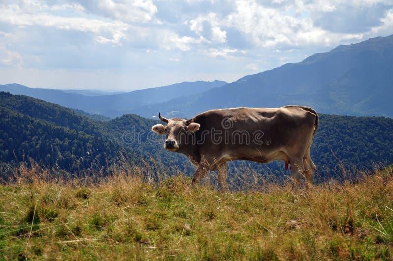 Dzika krowa w górach fotografia royalty free