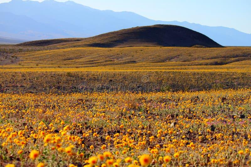 dzika kwiat łóżkowa śmiertelna dolina zdjęcie royalty free