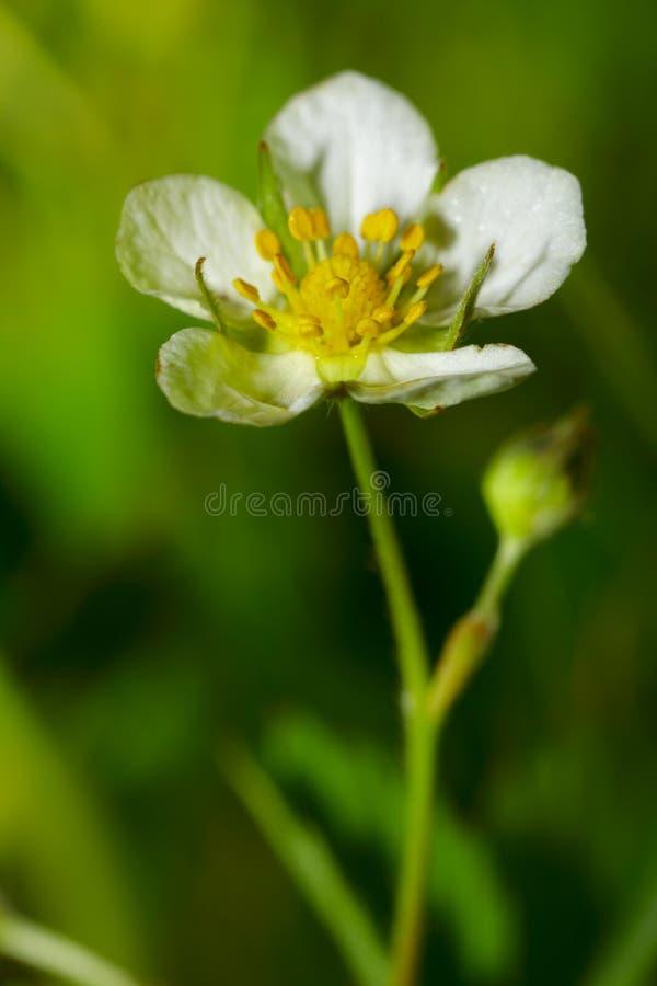 dzika kwiat truskawka obrazy stock