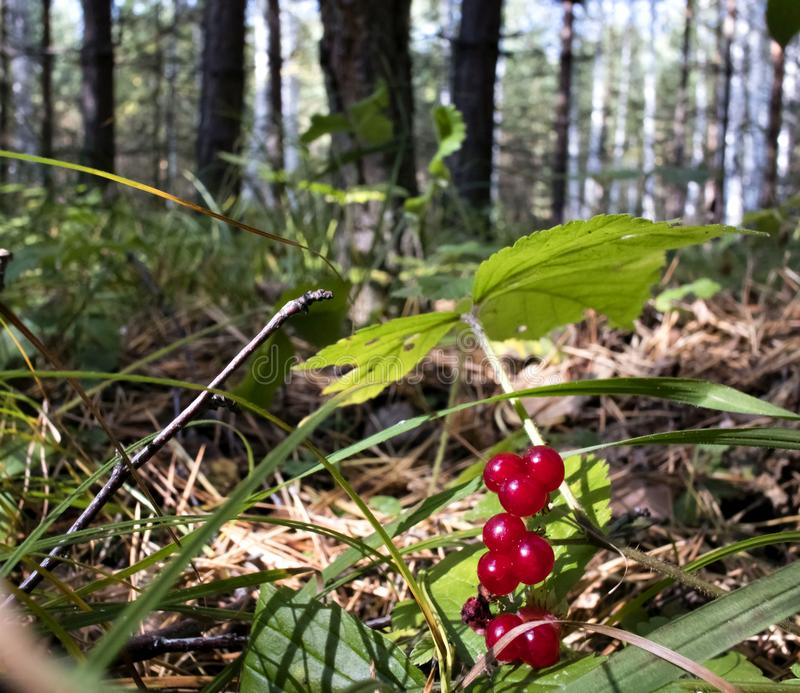 Dzika lasowa kamiennego bramble jagoda fotografia stock