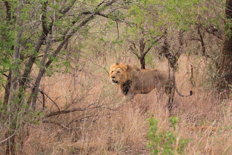 dzika lew afrykańska samiec obrazy stock