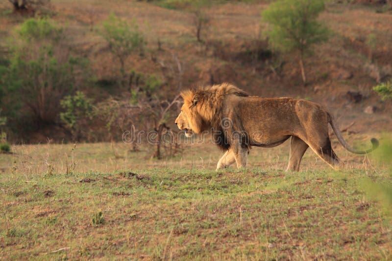 dzika lew afrykańska samiec fotografia stock