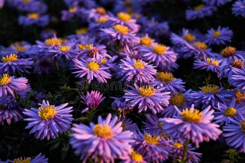 Dzika lila chryzantema obrazy royalty free