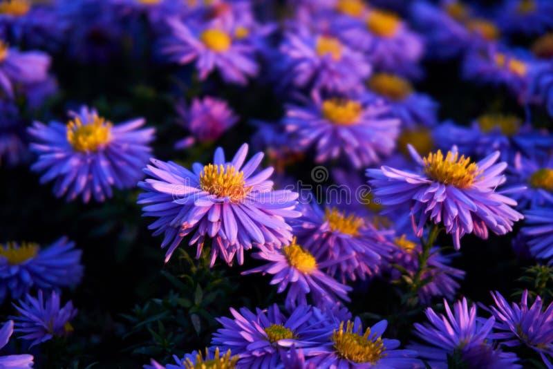 Dzika lila chryzantema zdjęcie stock