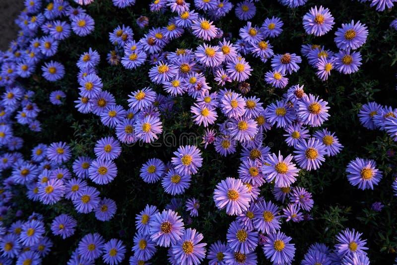 Dzika lila chryzantema fotografia stock