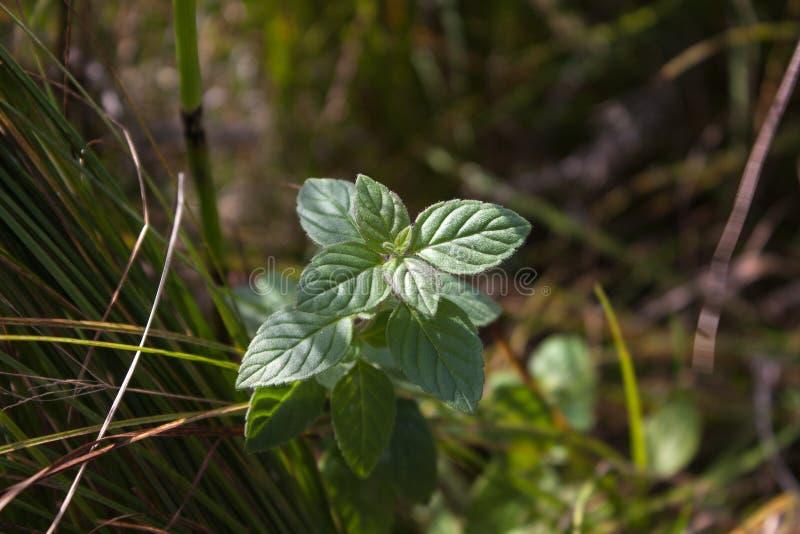 Dzika miętówka w trawie fotografia stock
