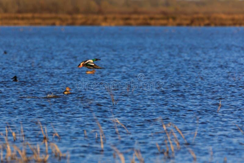 Dzika Północnego Shoveler kaczka wśród przyrody zarządzania terenu w Łysej gałeczce, Arkansas obrazy stock