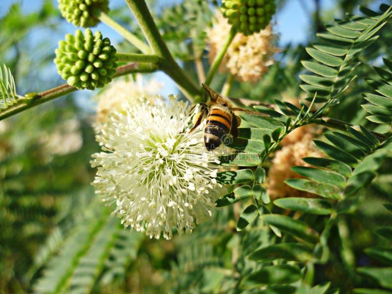 Dzika pszczoła w kwiat naturze zdjęcie stock