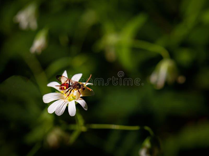 Dzika pszczoła zbiera nektar na białym kwiacie obrazy royalty free