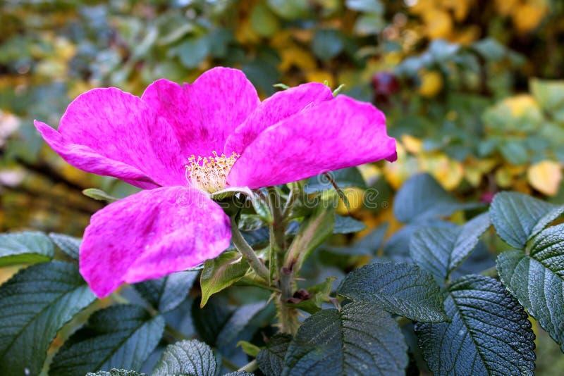 Dzika róża kwitnący ciepły w jesieni zdjęcie royalty free