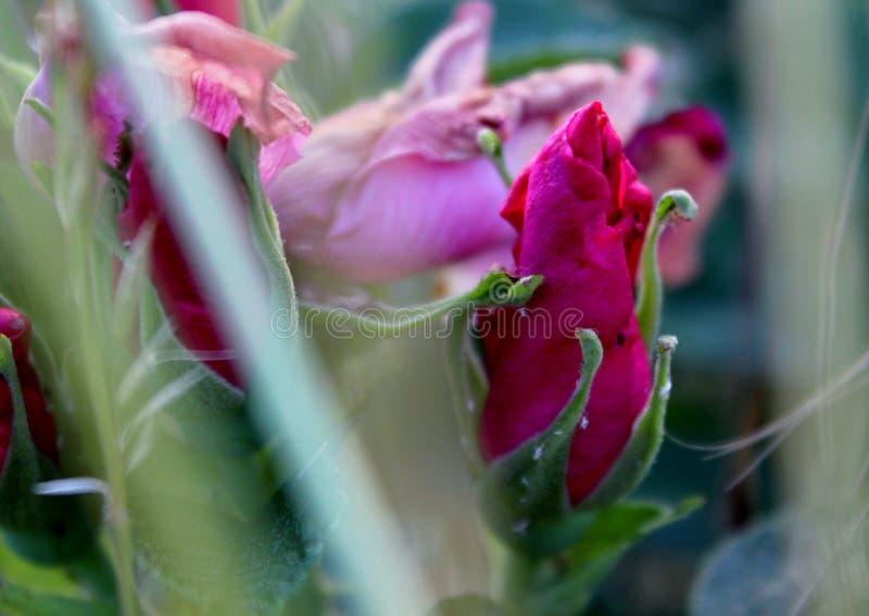 Dzika różana gryka blisko drogi zdjęcia stock