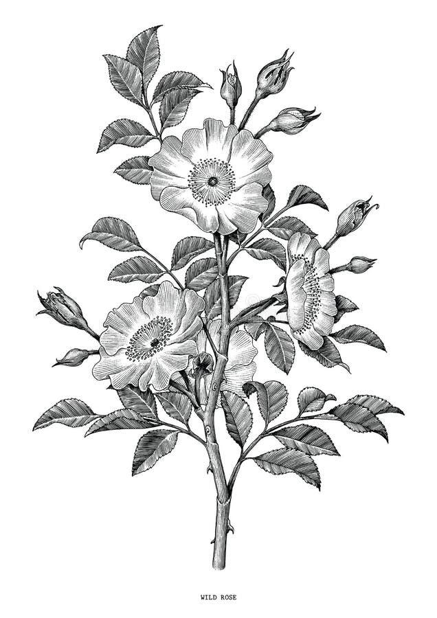 Dzika róży ręka rysuje czarny i biały rocznik klamerki sztukę odizolowywającą royalty ilustracja
