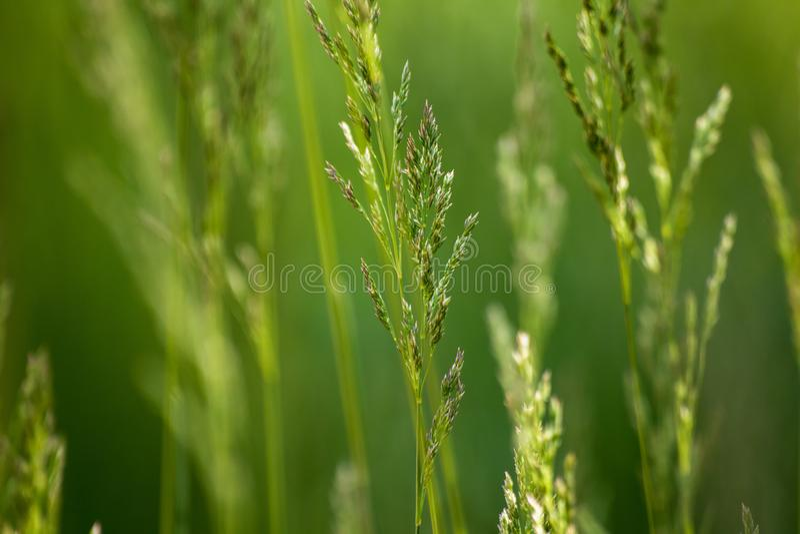 Dzika roślina na łące z zielonej trawy tłem zdjęcia royalty free