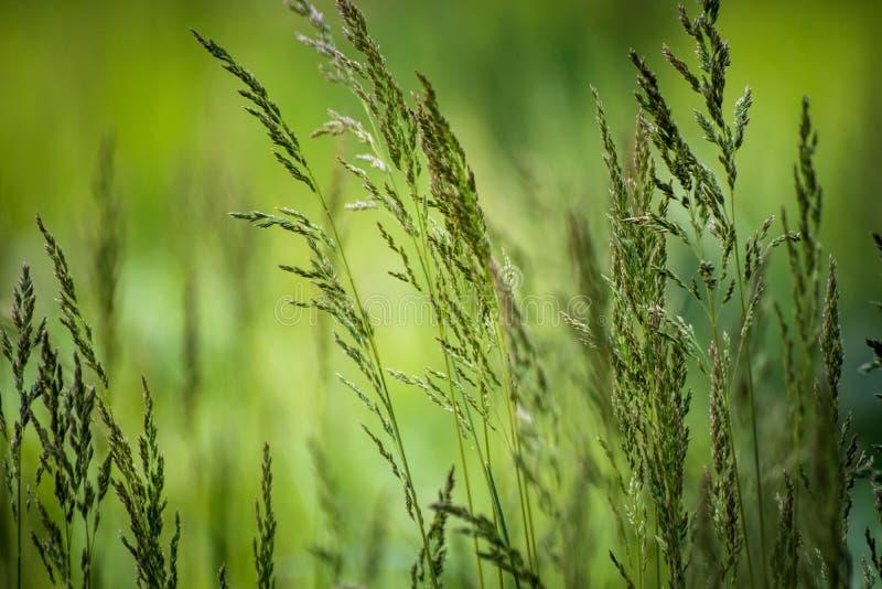 Dzika ro?lina na ??ce z zielonej trawy t?em obrazy royalty free