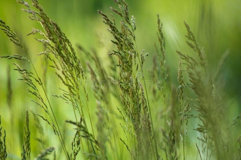 Dzika ro?lina na ??ce z zielonej trawy t?em obrazy stock