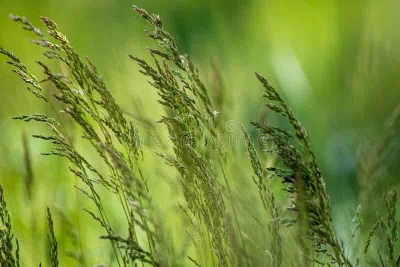 Dzika ro?lina na ??ce z zielonej trawy t?em fotografia stock
