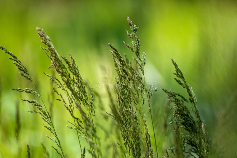 Dzika ro?lina na ??ce z zielonej trawy t?em zdjęcie royalty free