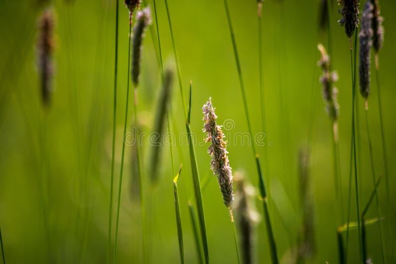 Dzika ro?lina na ??ce z zielonej trawy t?em zdjęcia stock