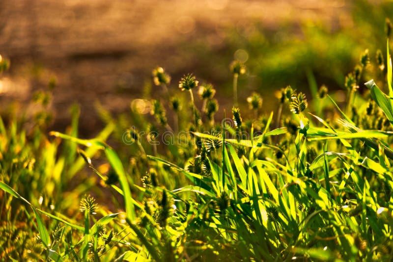 Dzika trawa dekatyzuje przeciw s?o?ca copyspace na nagiej ziemi i ?wiat?u obraz royalty free